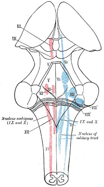 mesencephalic nucleus of trigeminal nerve wikipedia diagram of sensory pathway #4