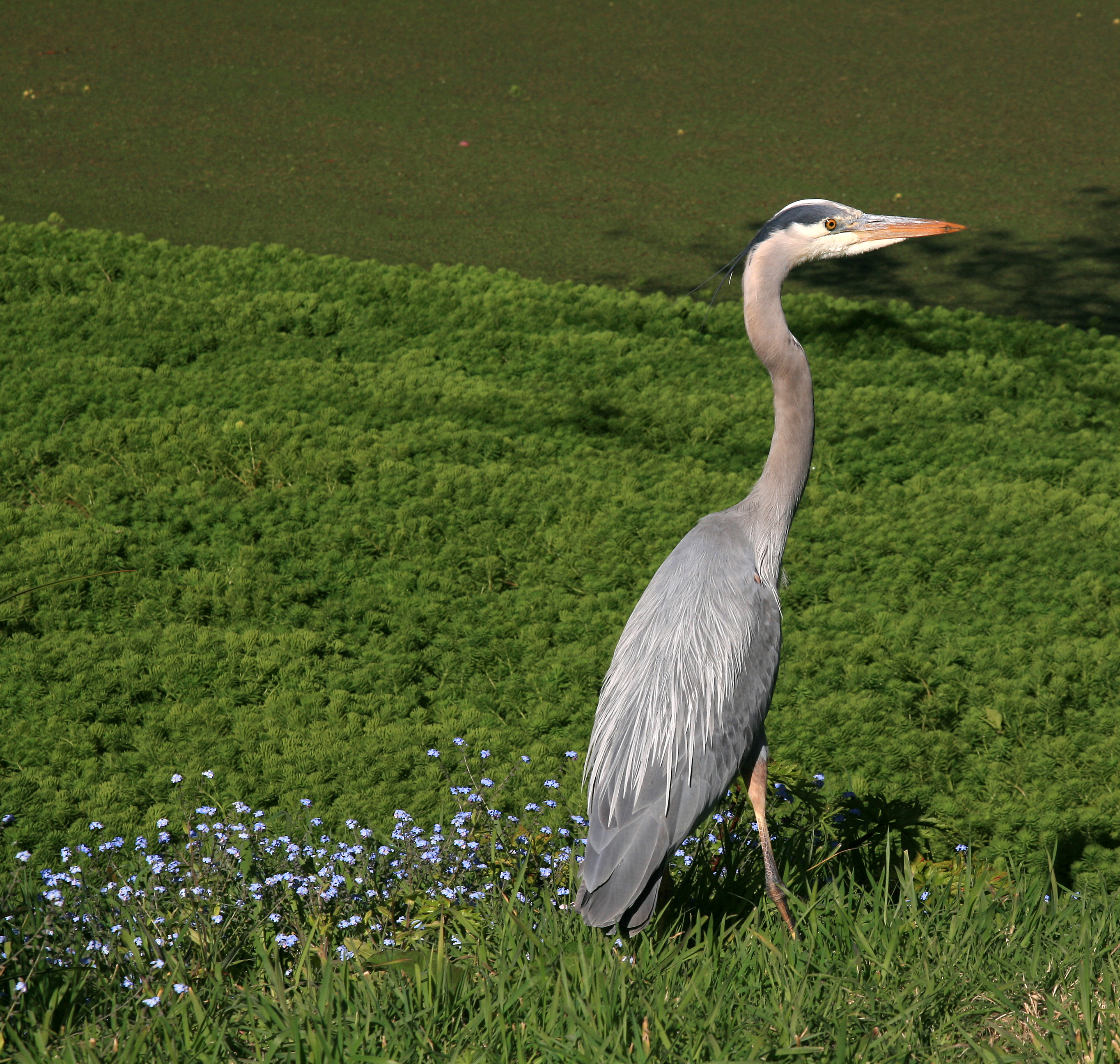 Great Blue Heron (Wikipedia)