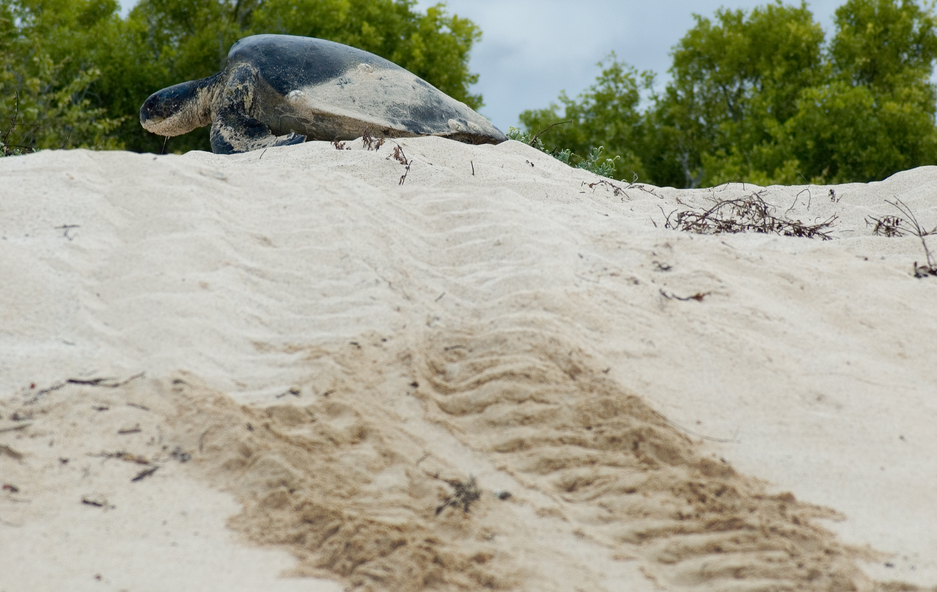 Sea Turtle Laying Eggs Pictures File:green Sea Turtle Laying