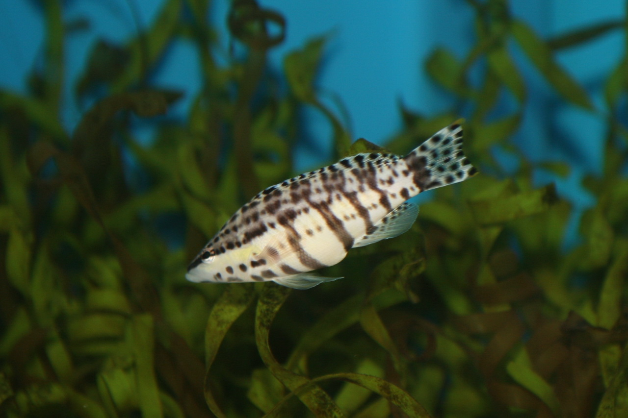 Harlequin Bass (Serranus tigrinus).jpg © Cliff