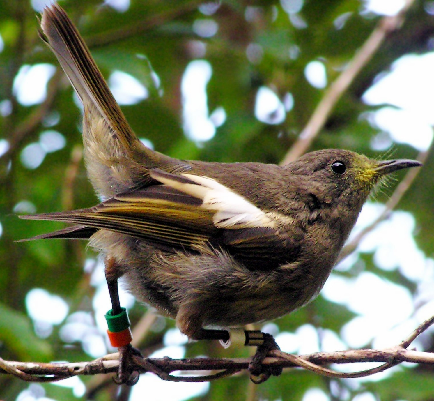 Hihi, endangered bird endemic to New Zealand