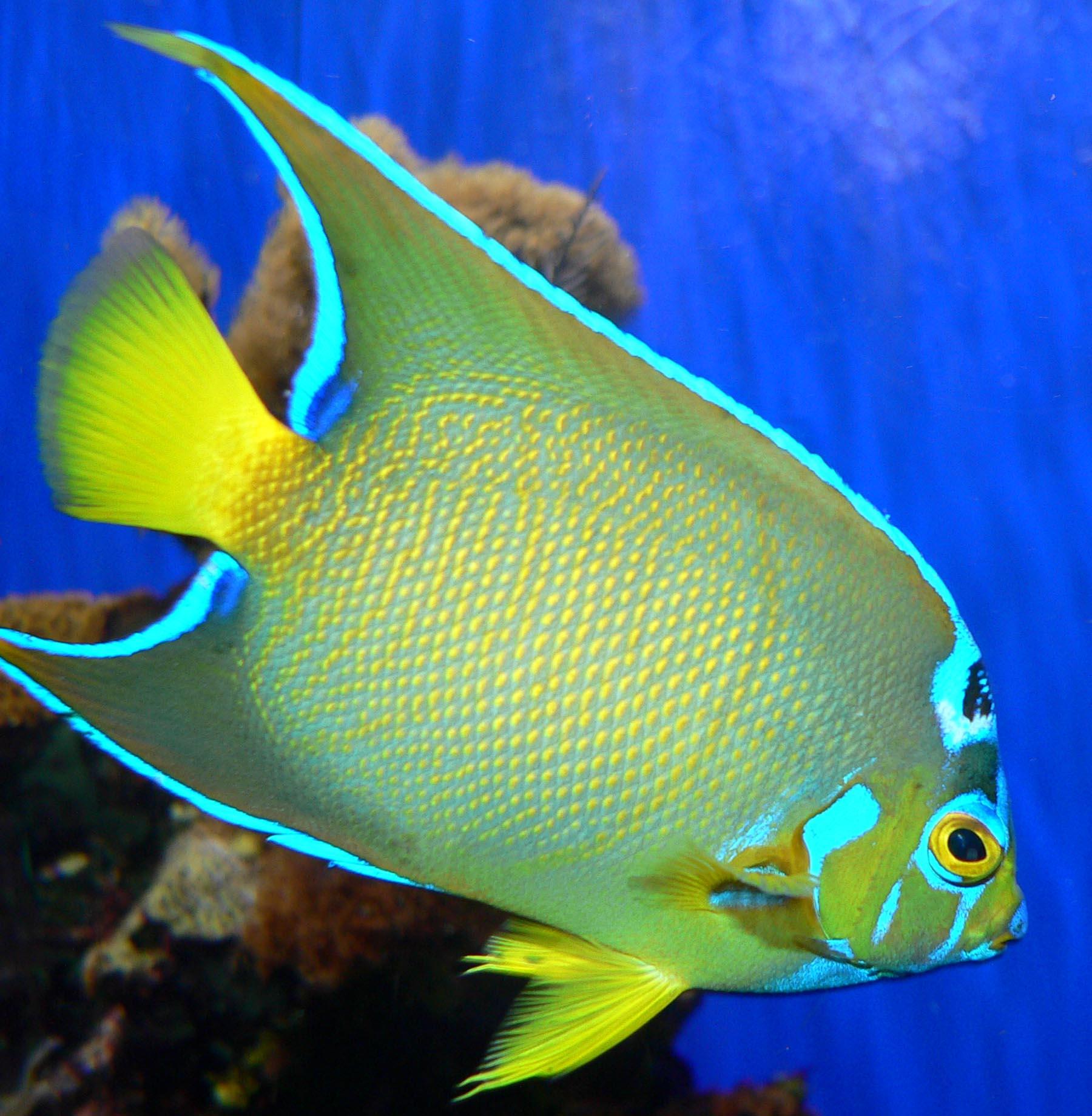 File holacanthus ciliaris wikipedia for Rare aquarium fish