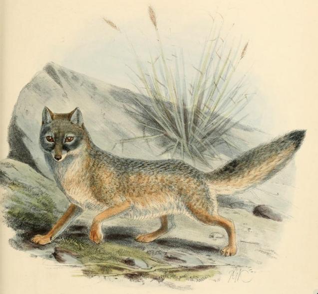File:Keulemans kit fox.png