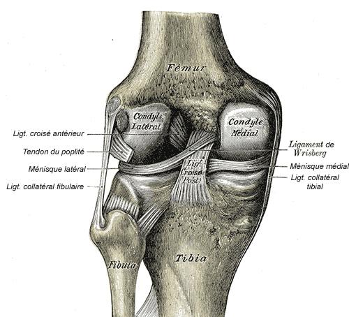 Ligaments du genou.jpg