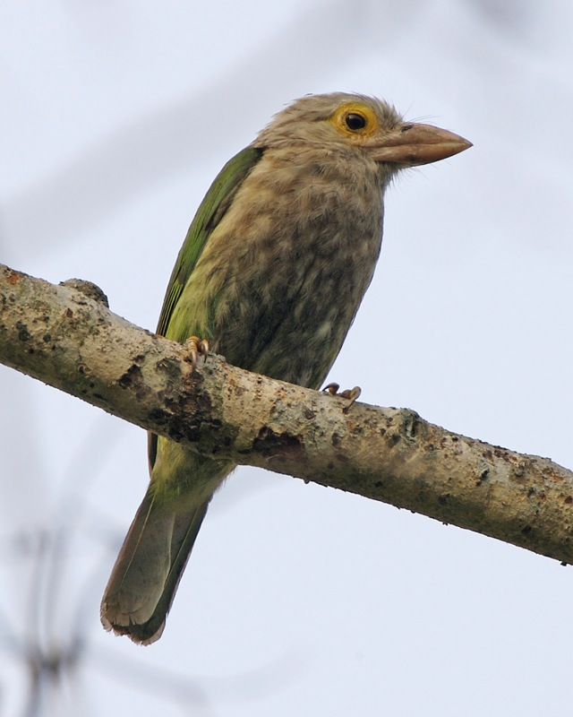external image Lineated_Barbet_%28Megalaima_lineata%29_-_Flickr_-_Lip_Kee_%283%29.jpg