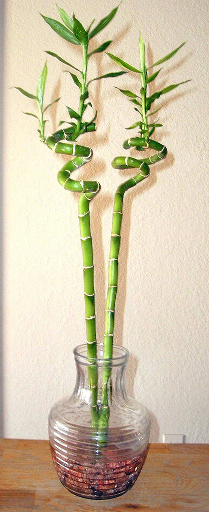 photo Lucky_bamboo_spiral_houseplant.jpg