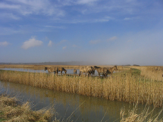 Marsh Ponies at Minsmere - geograph.org.uk - 126079