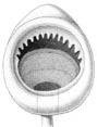 Mastigoteuthis dentata.jpg