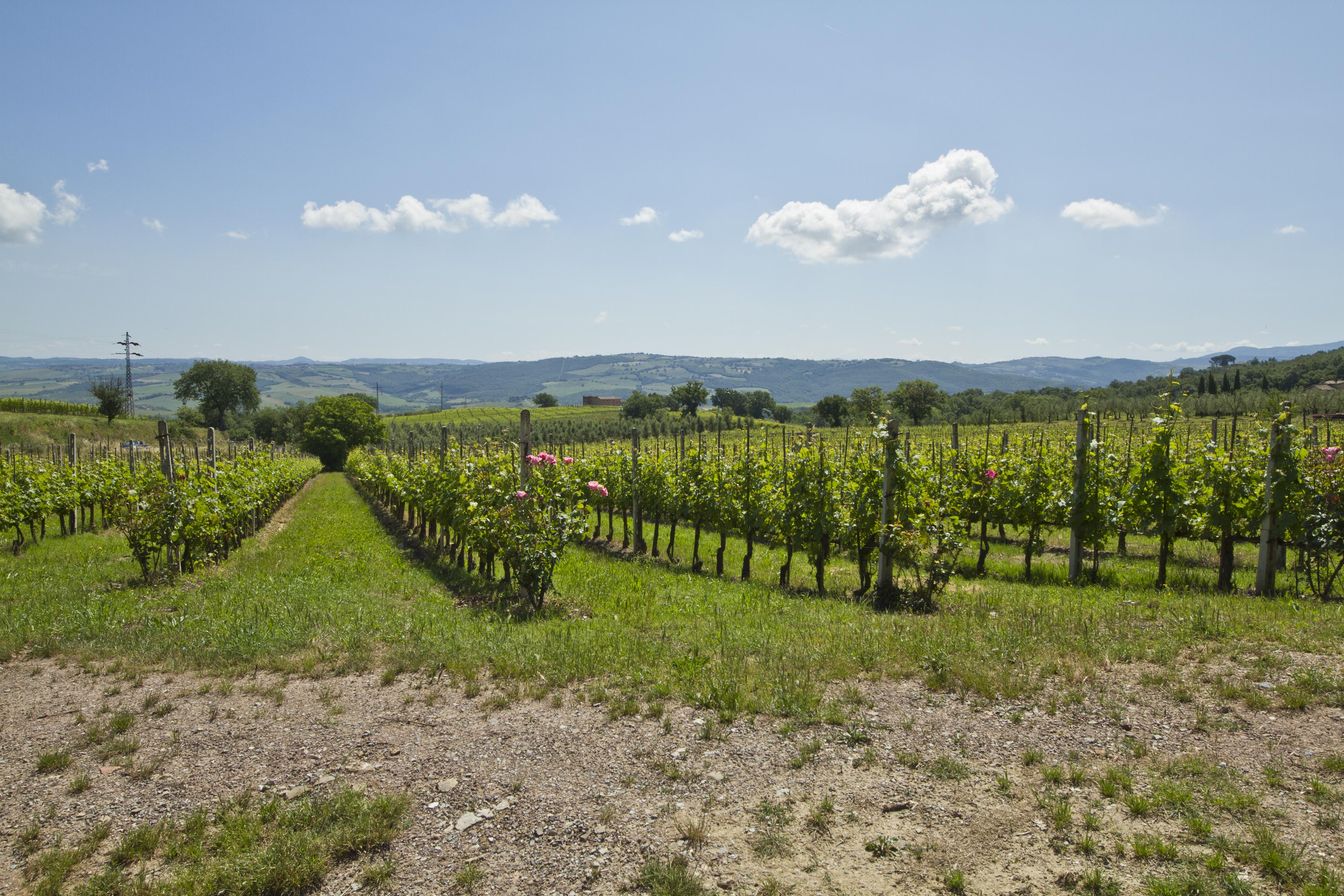 Montalcino vineyard - panoramio.jpg