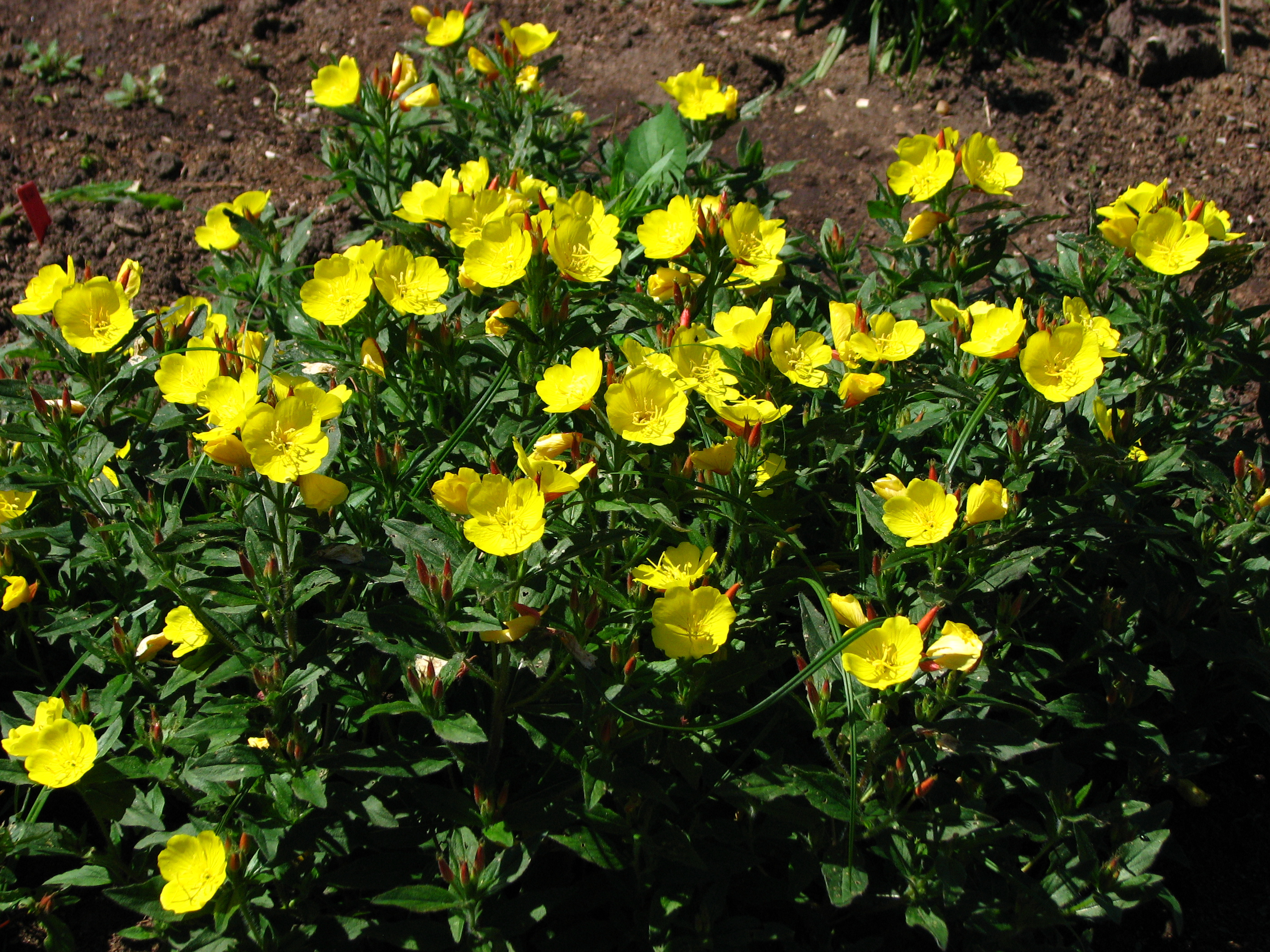 File:Oenothera fruticosa 03.JPG - Wikimedia Commons: https://commons.wikimedia.org/wiki/File:Oenothera_fruticosa_03.JPG