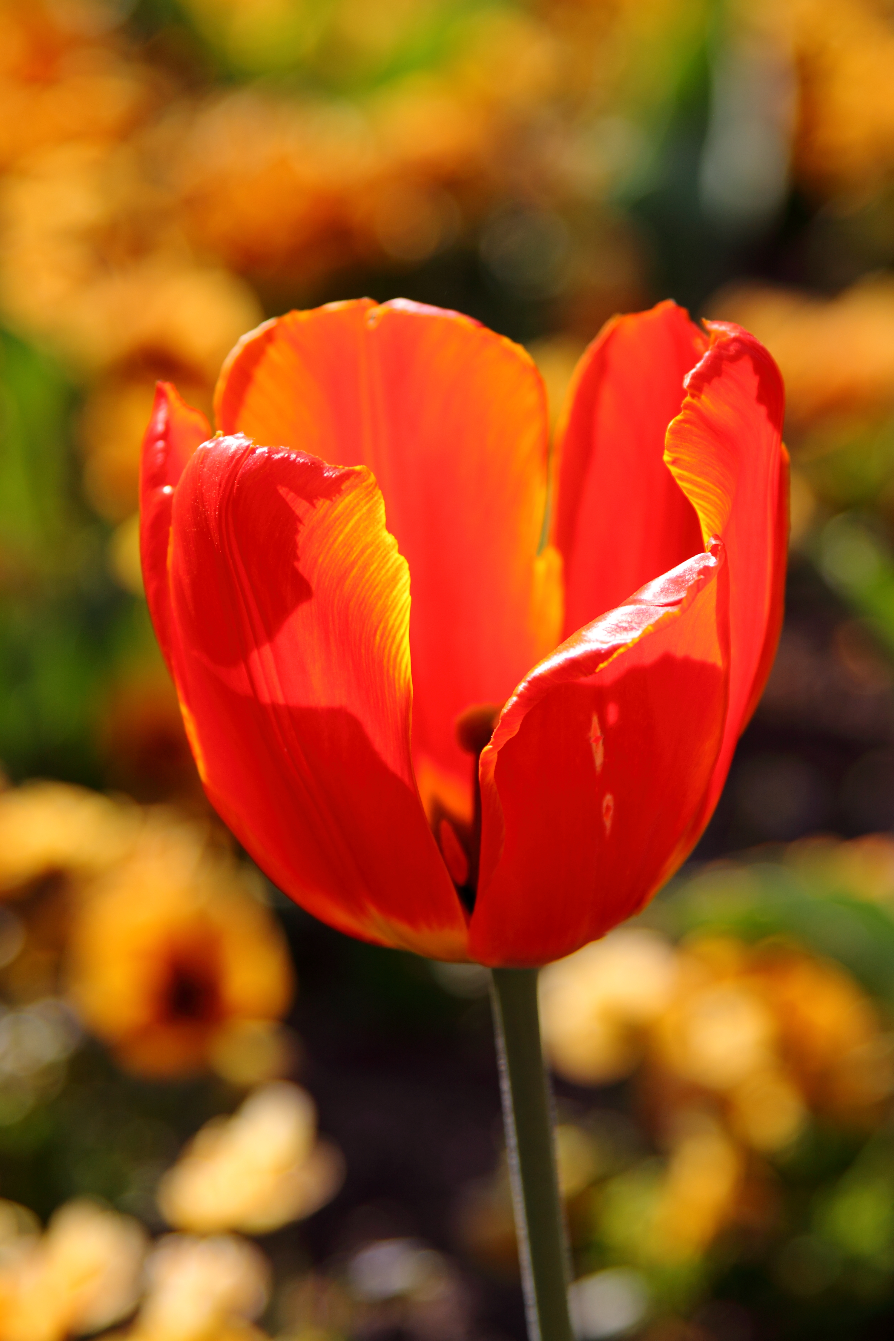 Rote tulpe picture