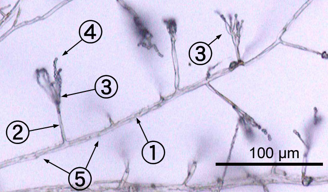 nenvironmentalisolateofenicillium