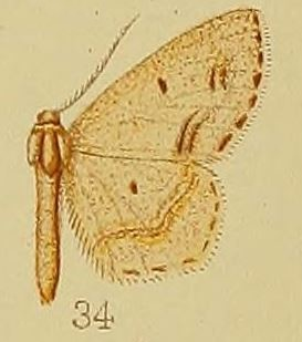 <i>Scopula natalica</i> Species of geometer moth in subfamily Sterrhinae