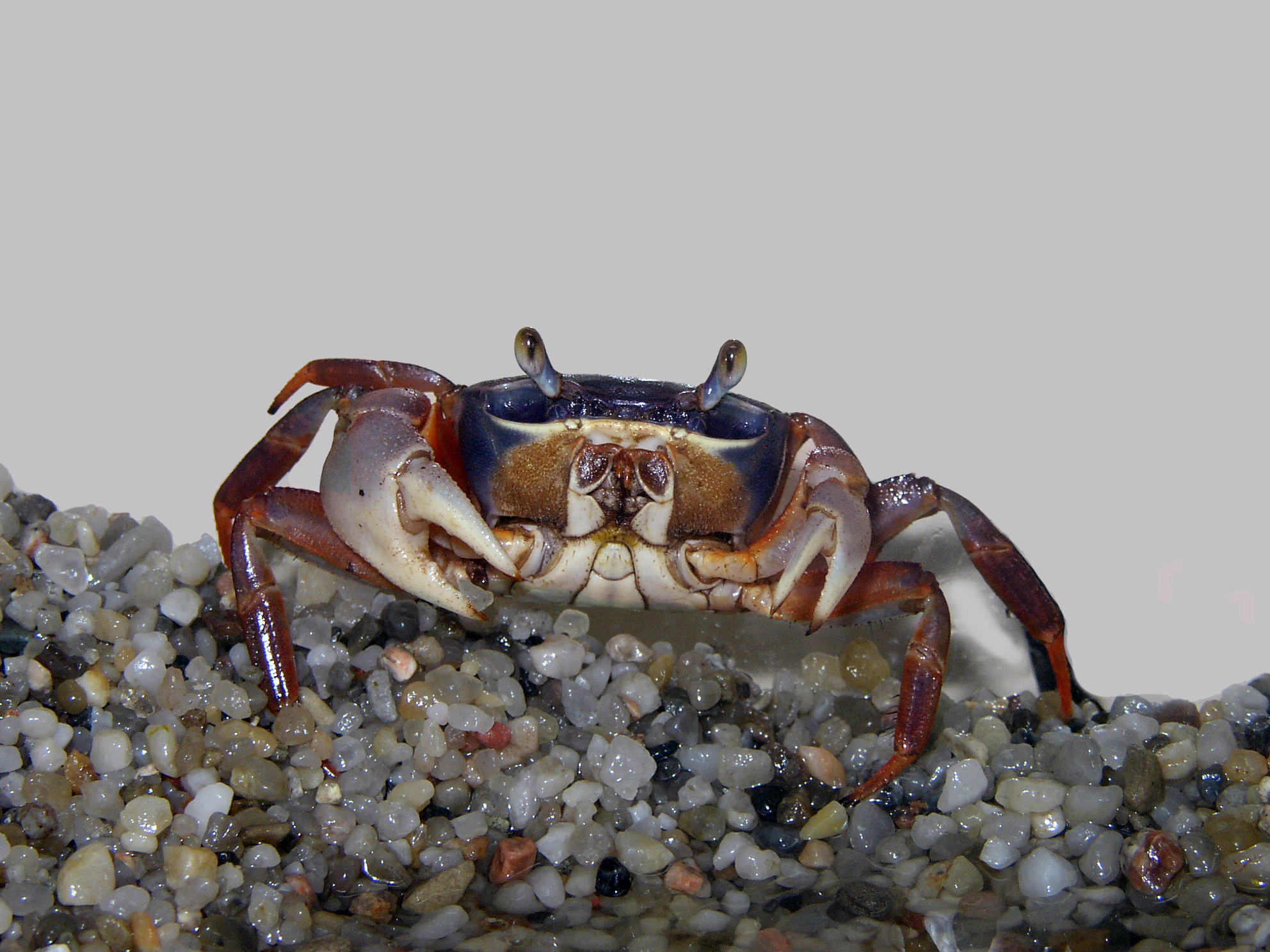 Rainbow land crabs are a popular type of pet crab