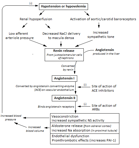 Renin Angiotensin System Wikiwand. Flowchart Showing The Clinical Effects Of Raas Activity And Sites Action Ace Inhibitors. Wiring. Aldosterone Hormone Feedback Loop Homeostasis Diagram For At Scoala.co
