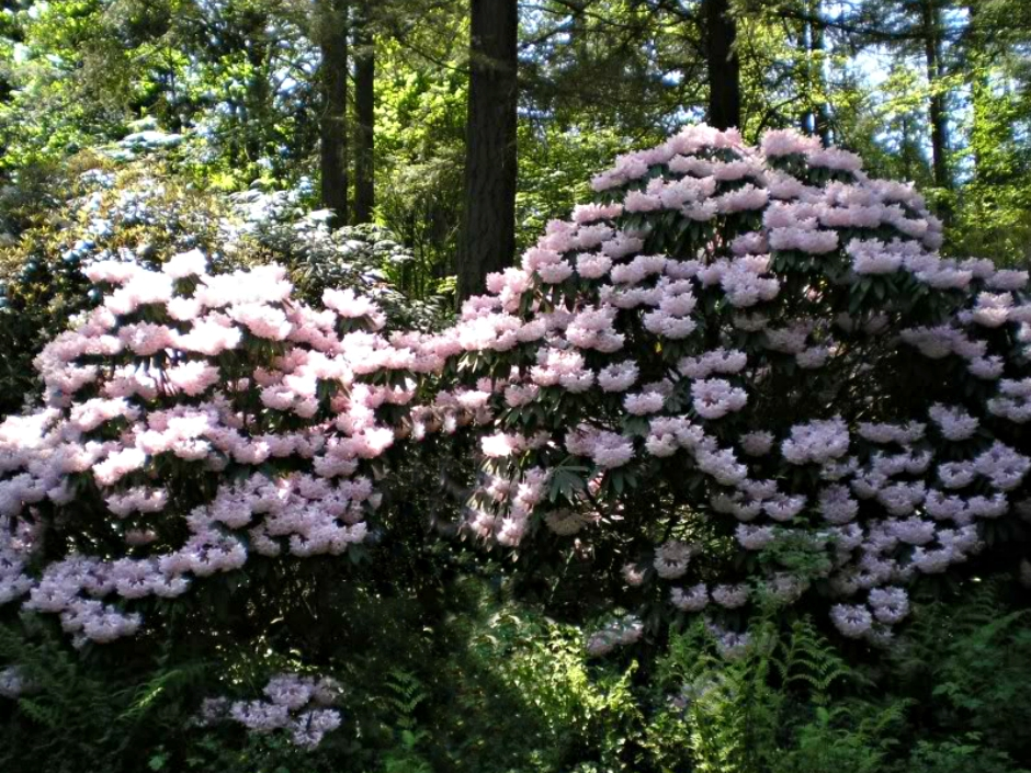 Exceptionnel File:Rhododendron Species Botanical Garden, Federal Way, WA.jpeg