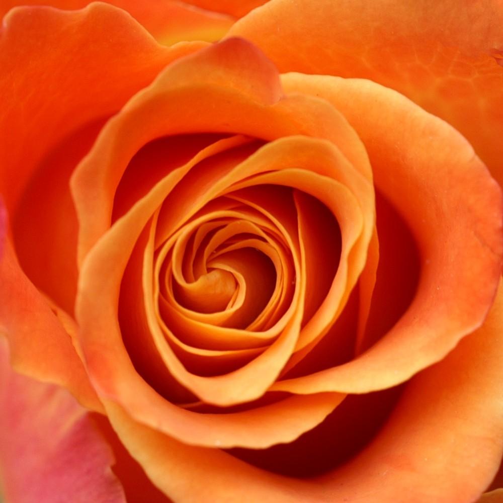 79f9e939 Rosa - Wiktionary