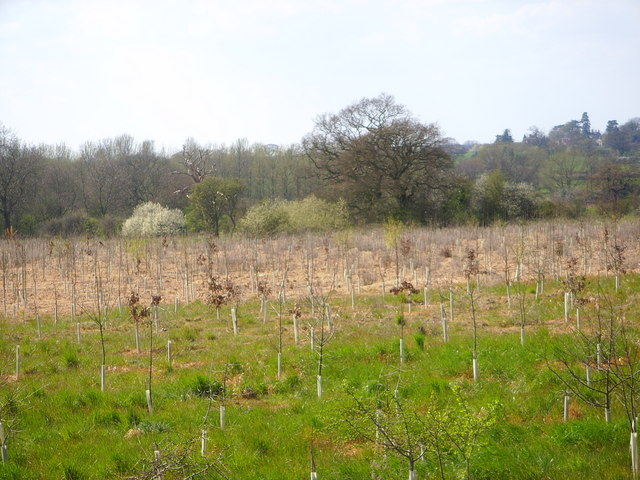 File:Saplings planted along the edge of the footpath - geograph.org.uk - 393242.jpg