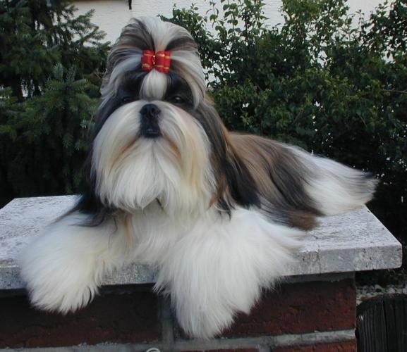 El Shih Tzu en inglaterra era conocido como perro crisantemo