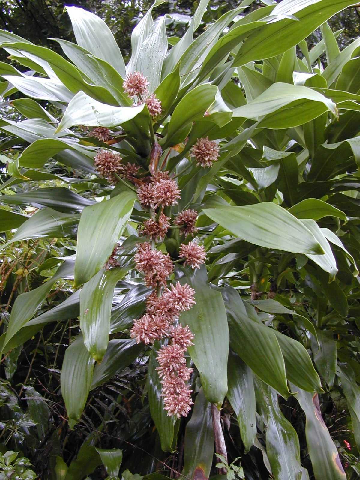 Corn plant how to grow dracaena fragrans for Plante dracaena