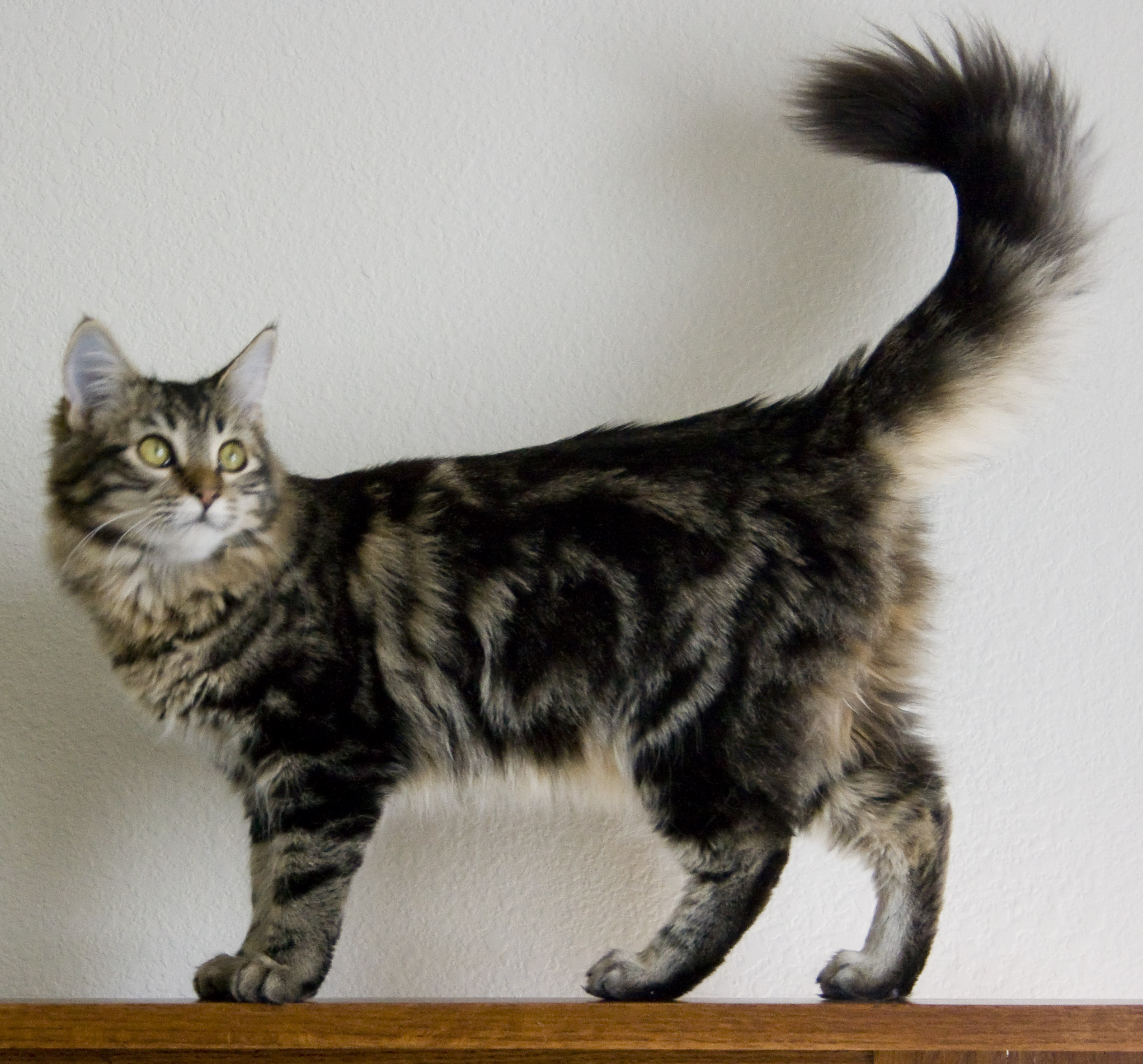 Maine Coon Cat Colorado Rescue