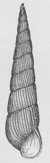 Turbonilla stimpsoni