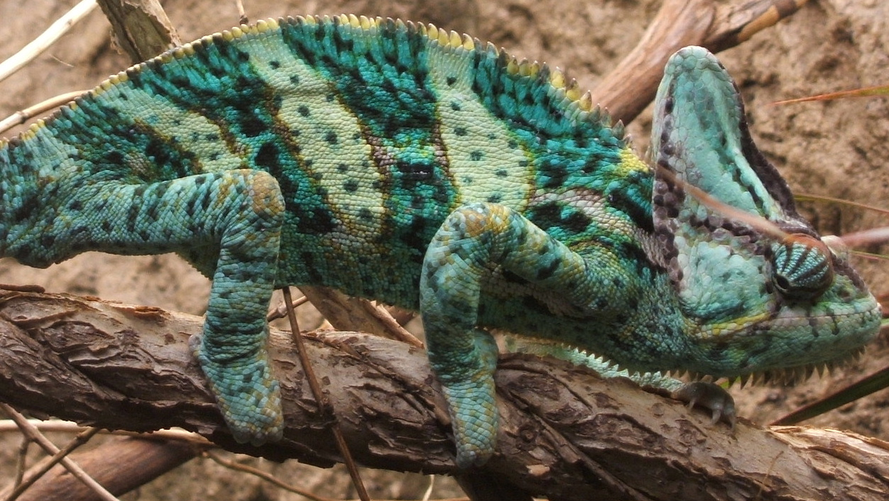 https://upload.wikimedia.org/wikipedia/commons/3/30/Veiled_chameleon%2C_Boston_%28cropped%29.jpg