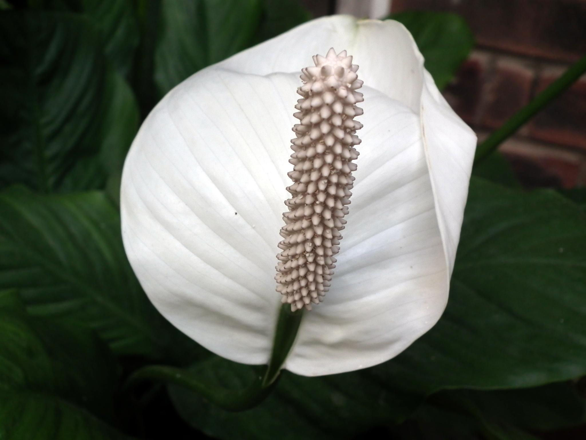 File white anthurium - Anthurium turenza ...