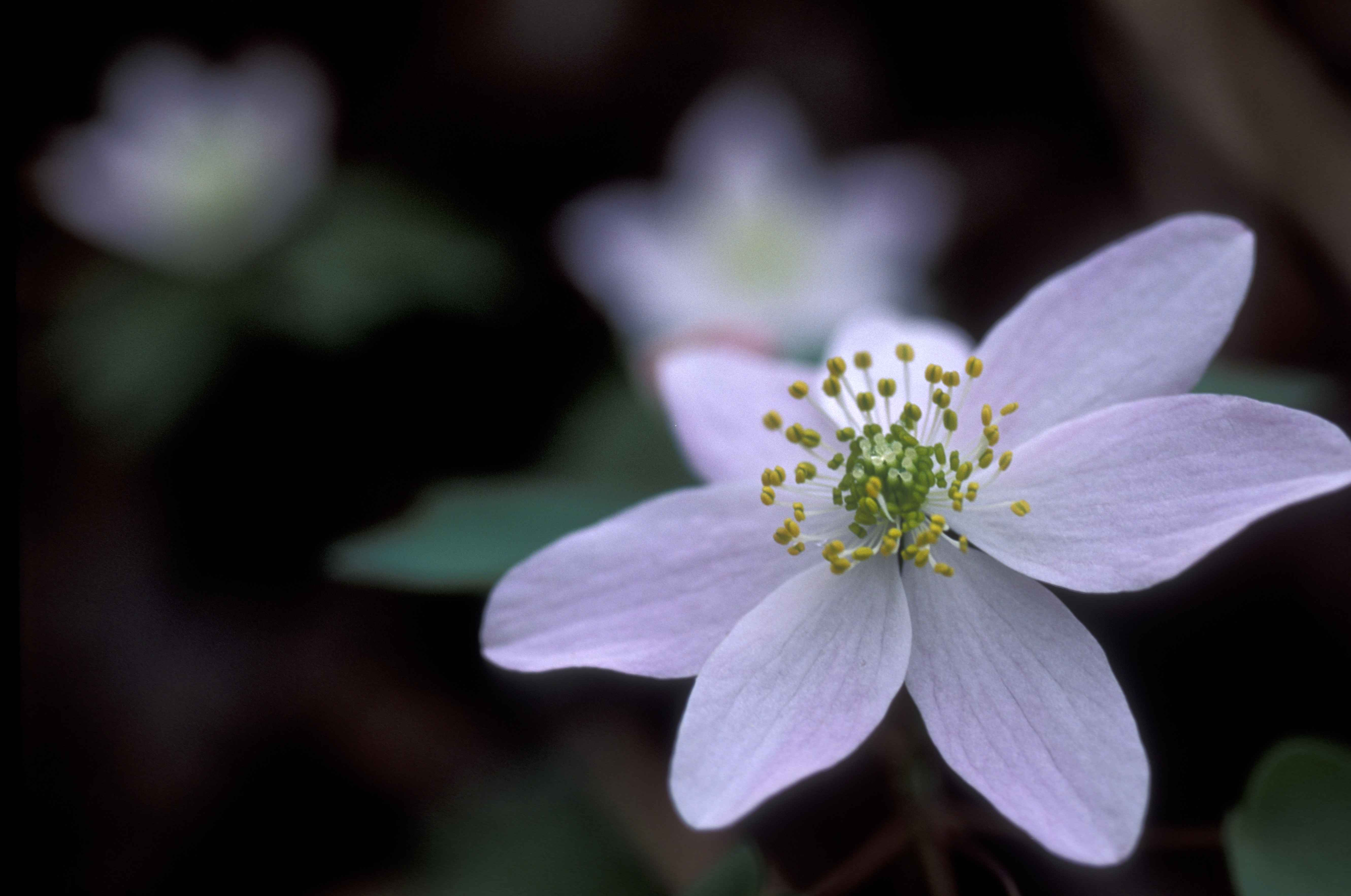 File White flower petals of a rue anemone Wikimedia mons