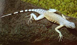 Zebra-tailed iguana (Callisaurus draconoides)