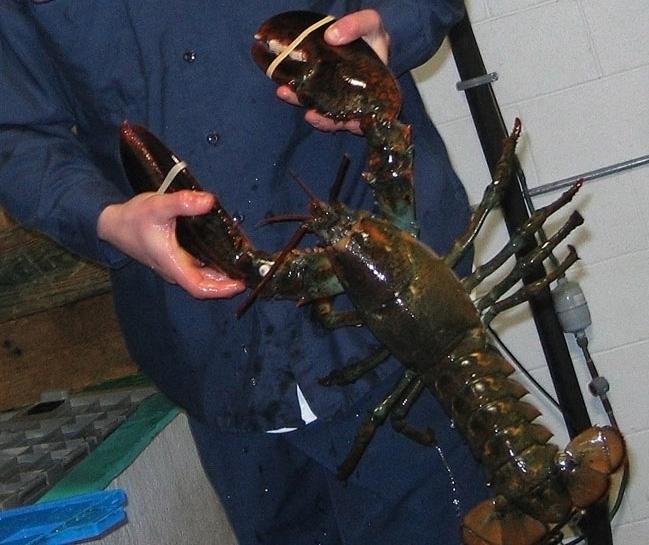 Old Lobster Equal Large Lobster