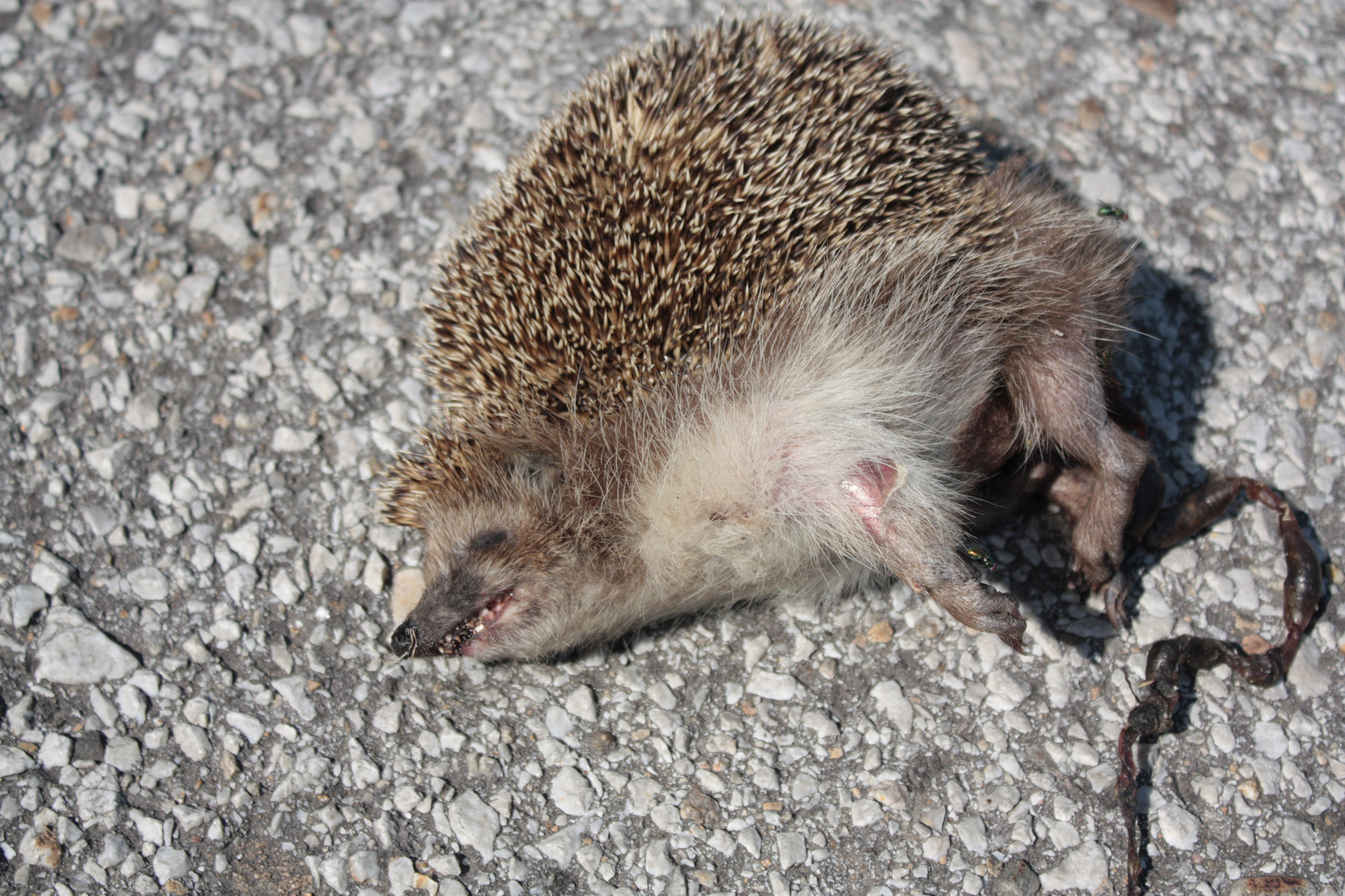 Image Result For Can Hedgehogs And