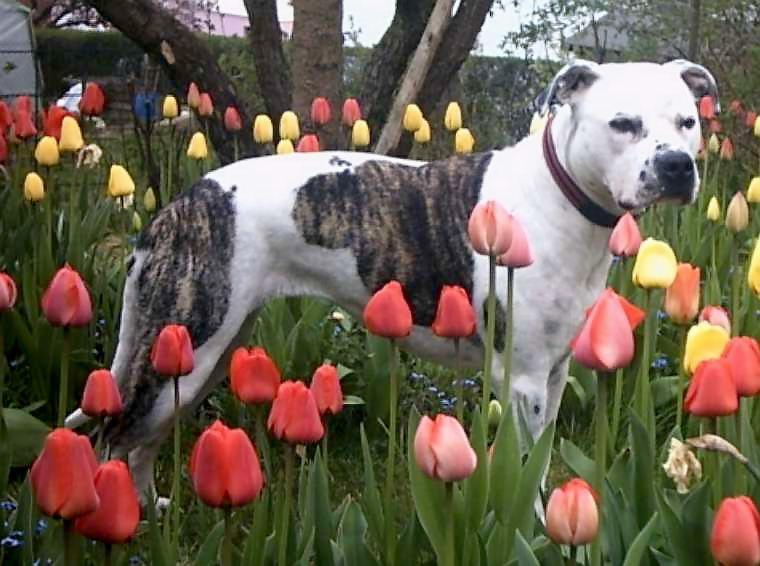 http://upload.wikimedia.org/wikipedia/commons/3/31/American_Staffordshire_Terrier.jpg