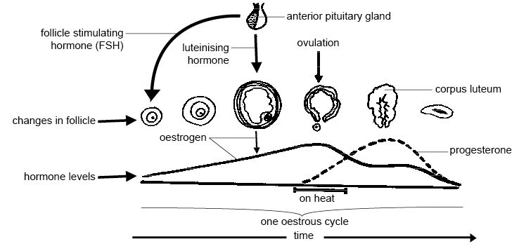 Anatomy and physiology of animals The oestrous cycle.jpg