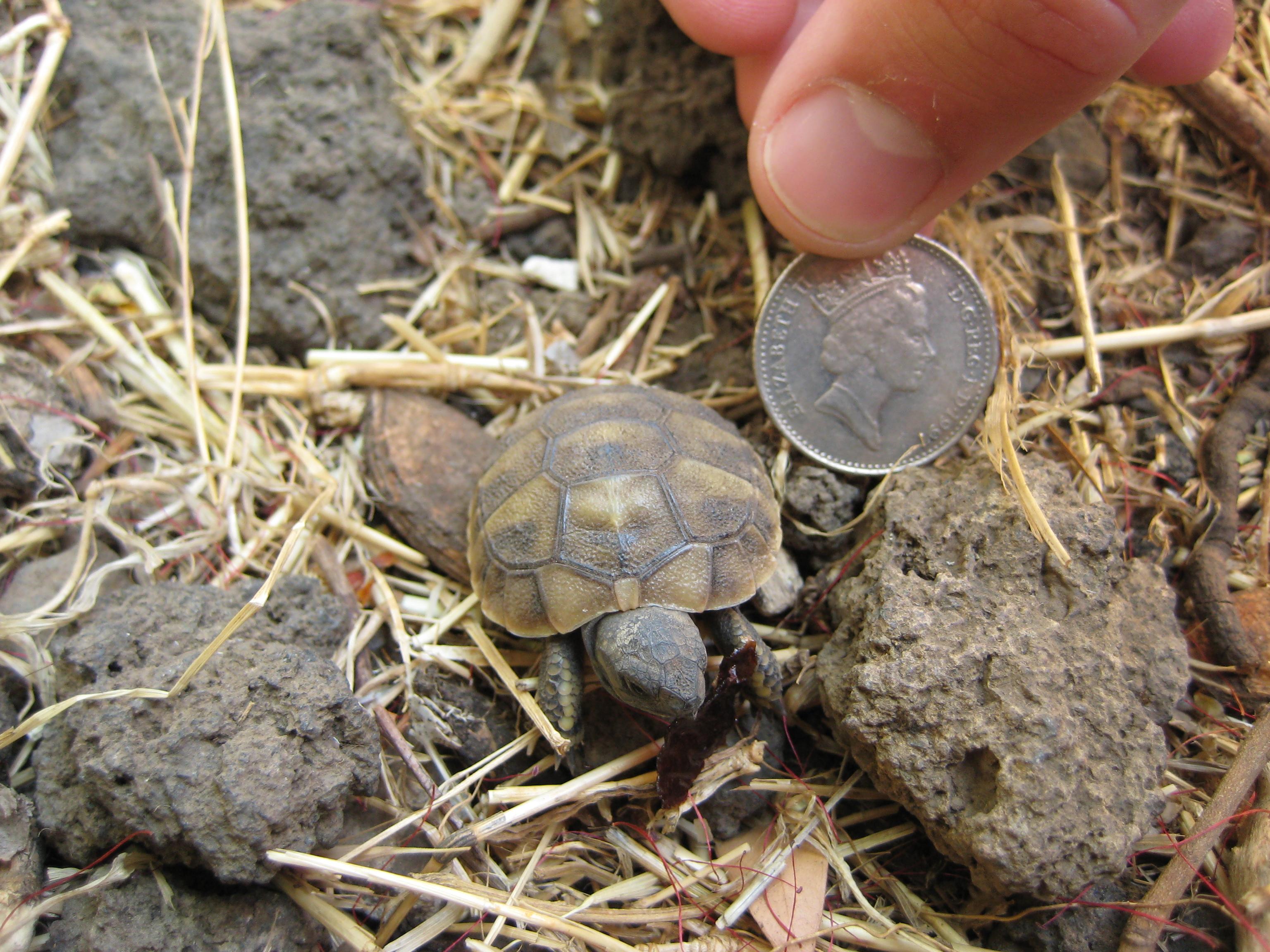 Description baby tortoise