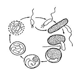 Bdellovibrio-Zyklus