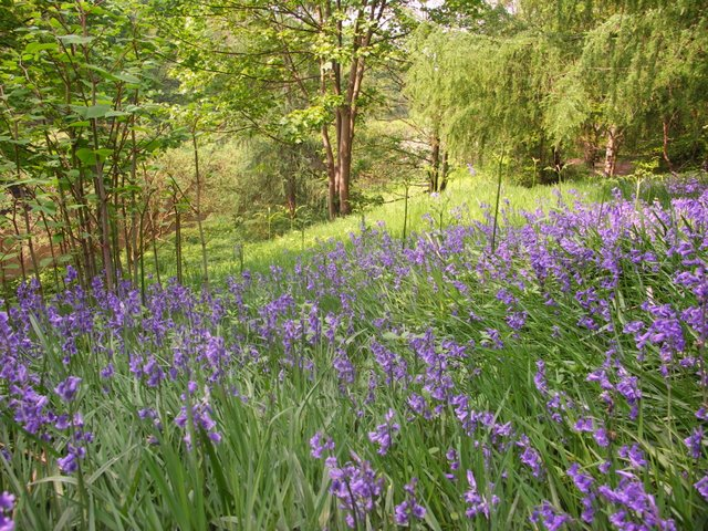 Bluebells at Moses Gate Country Park - geograph.org.uk - 800459