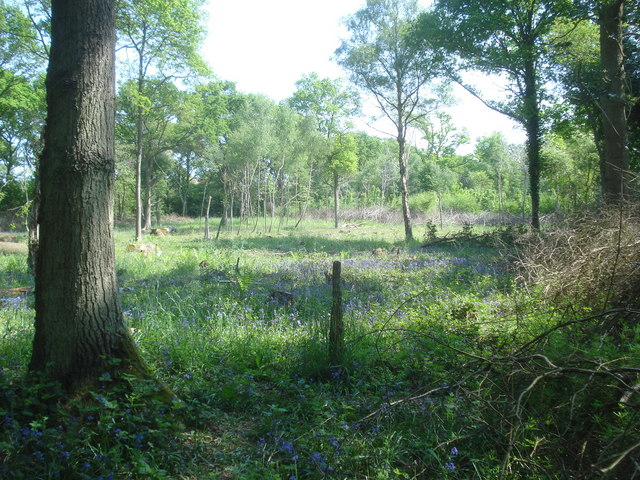 Bluebells in Nunnery Wood - geograph.org.uk - 839530