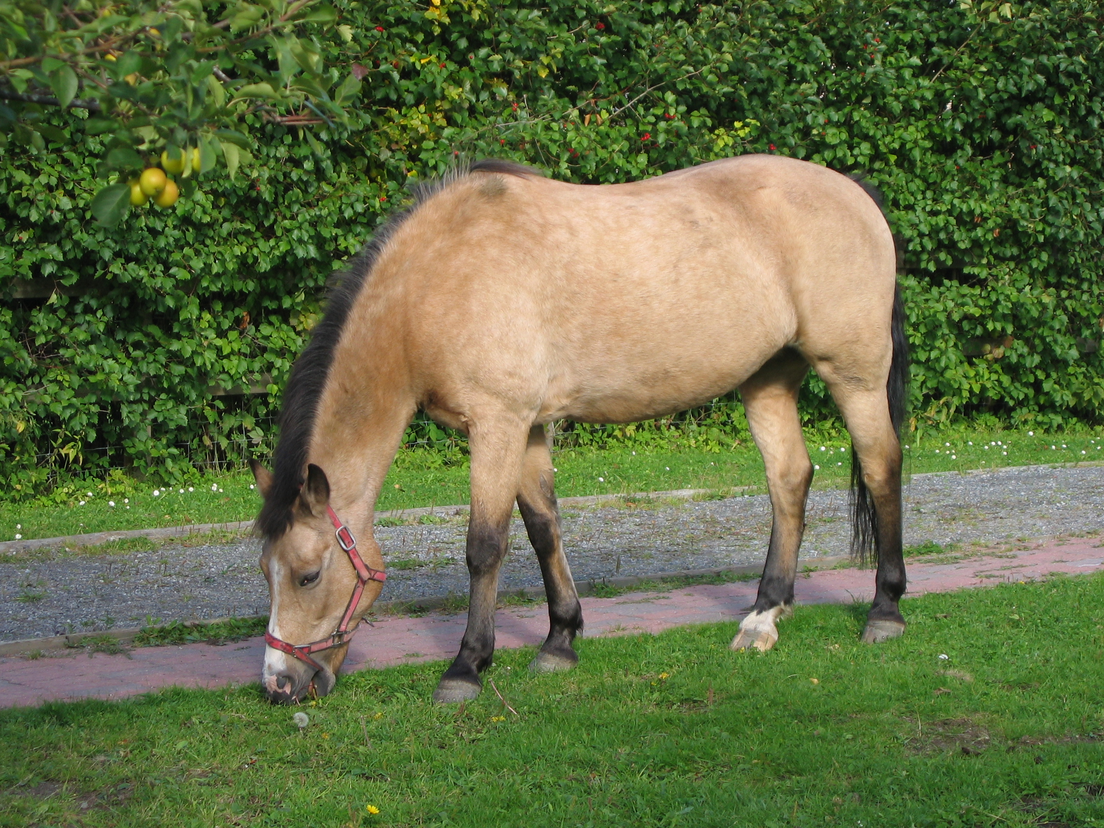 Buckskin Horse Wikipedia
