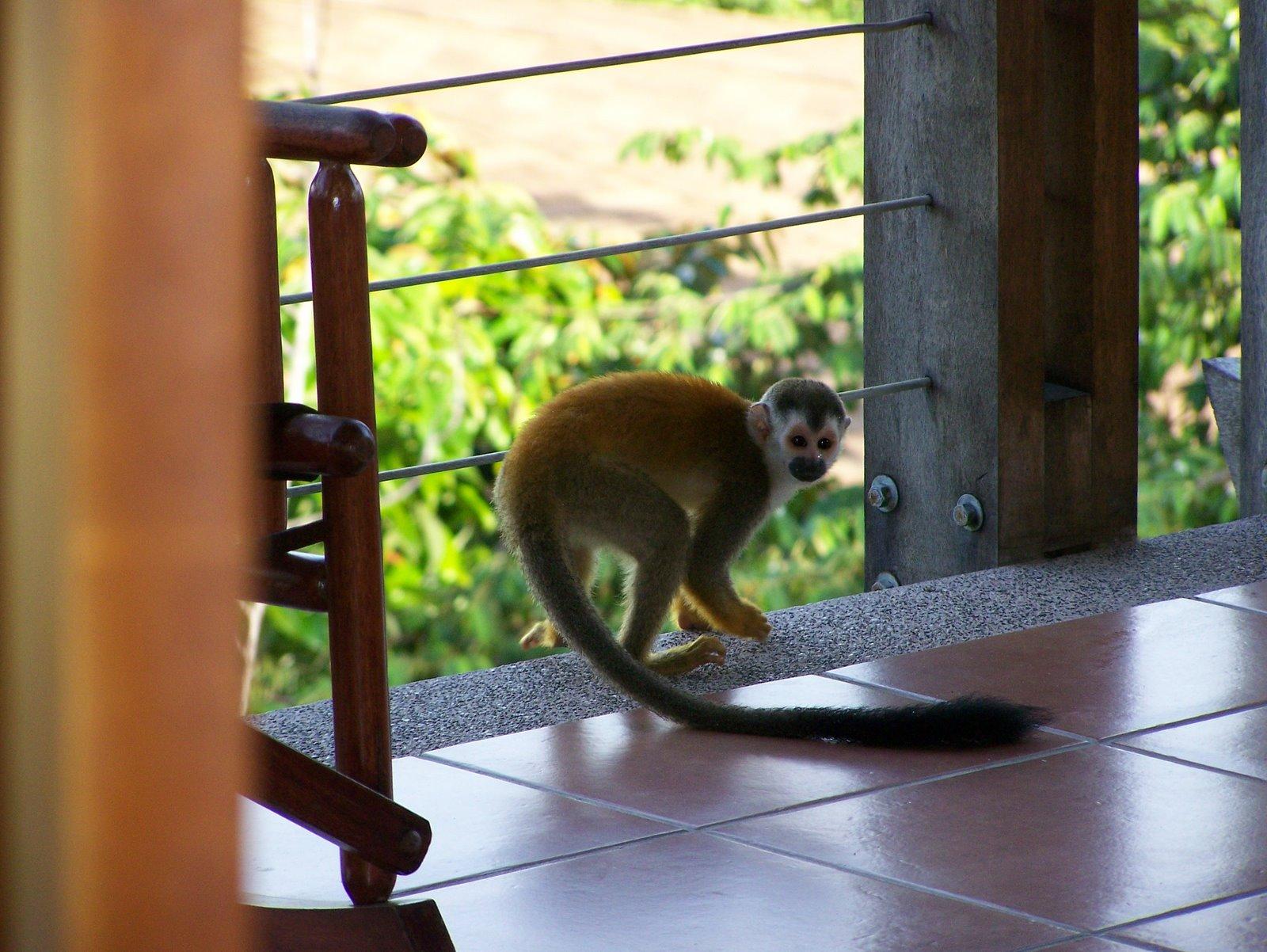 wild animals of american squirrel monkey