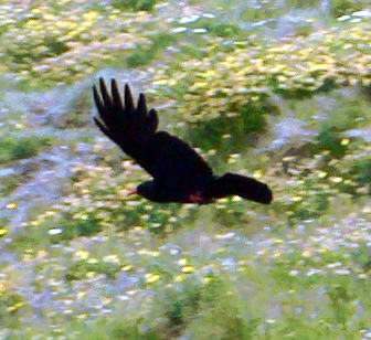 Red-billed chough: Pyrrhocorax pyrrhocorax pyrrhocorax