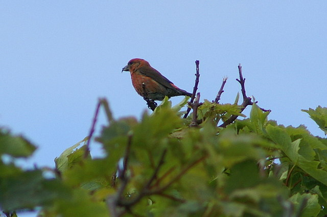 File:Common Crossbill (Loxia curvirostra), Baltasound - geograph.org.uk - 1362630.jpg