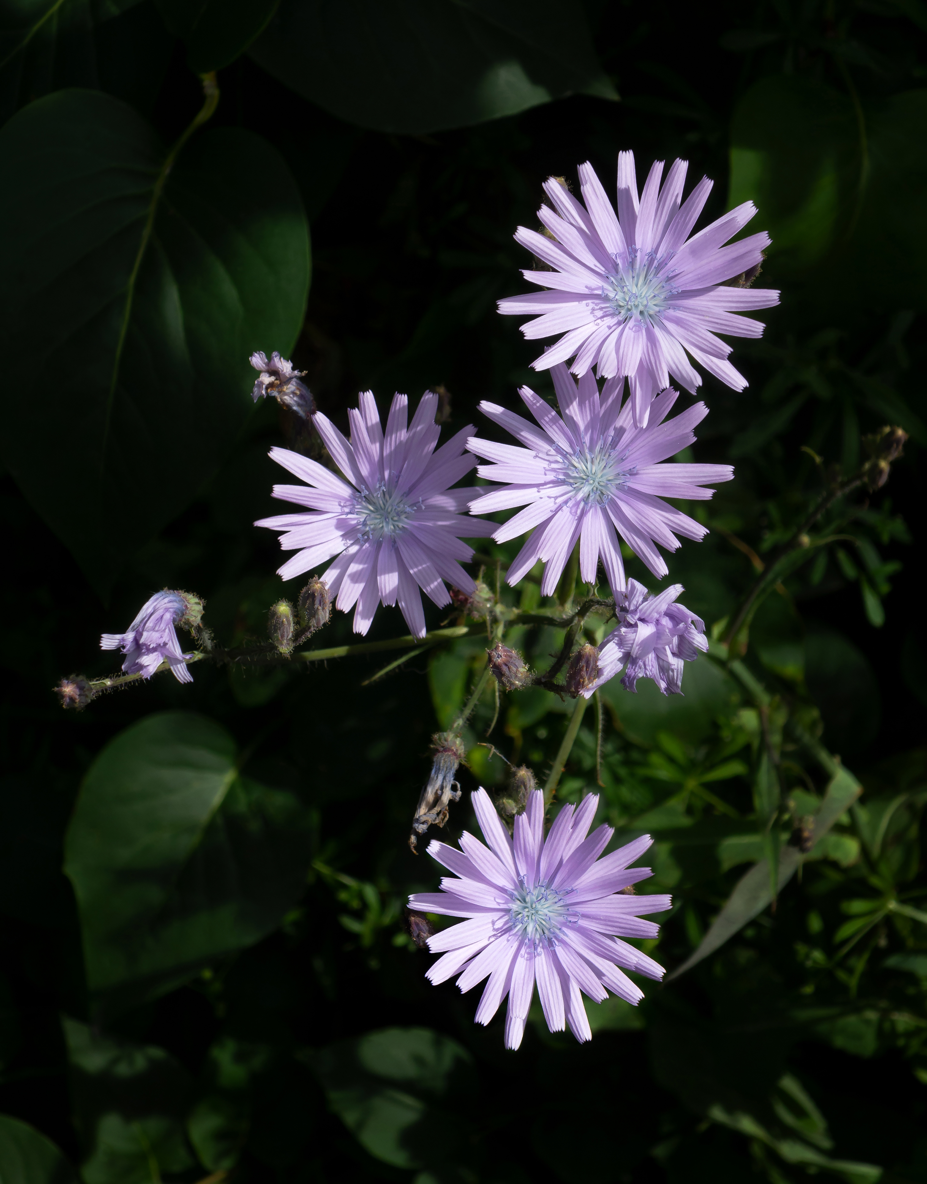 A photo of four chicory flowers blooming in a patch of sunlight. The chicory flowers are a pale blue-purple.