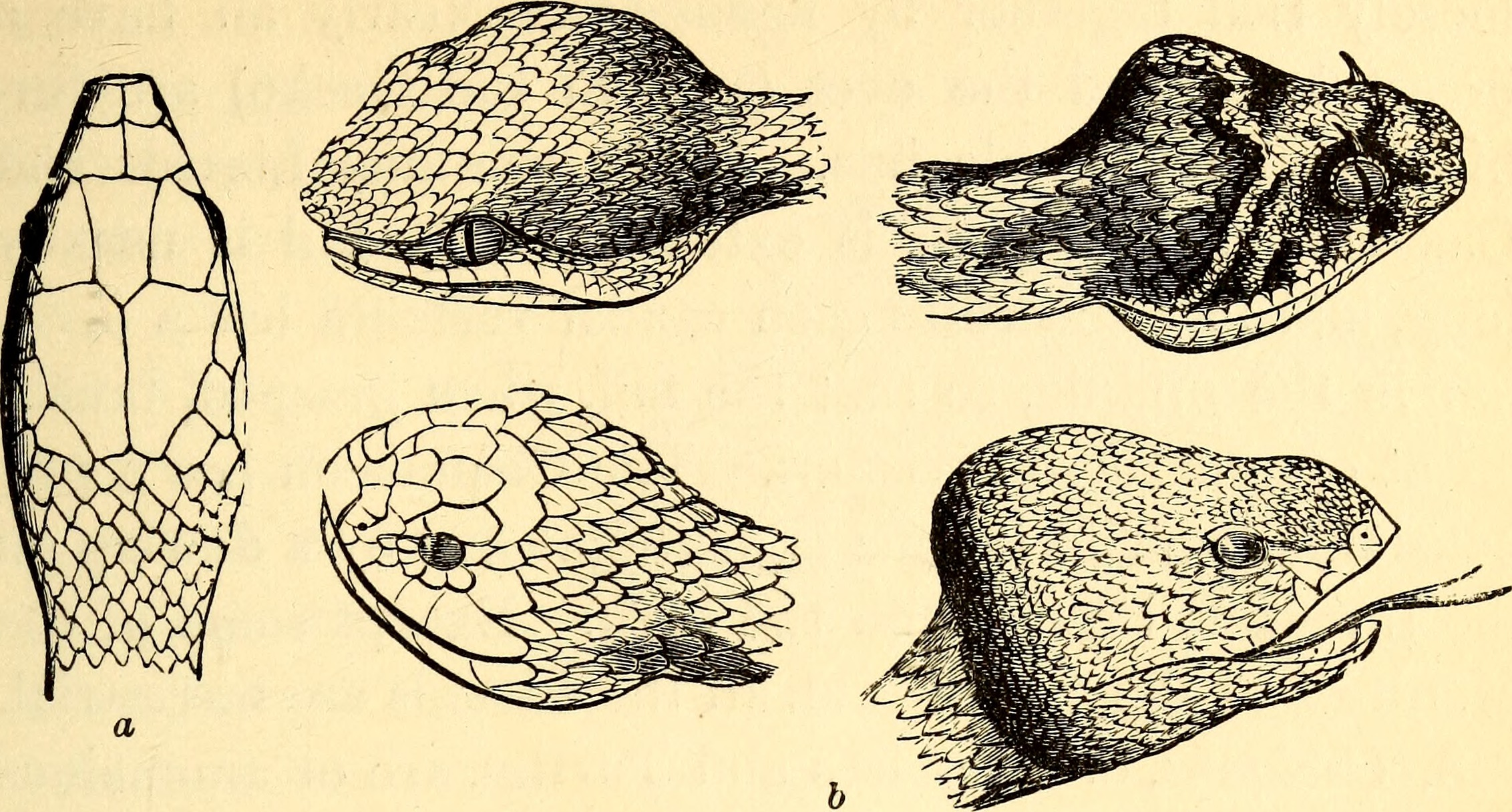Snake head structures. Comparative Zoology, Structural and Systematic. Orton, Birge (1883). Photo courtesy of Wikimedia Commons.
