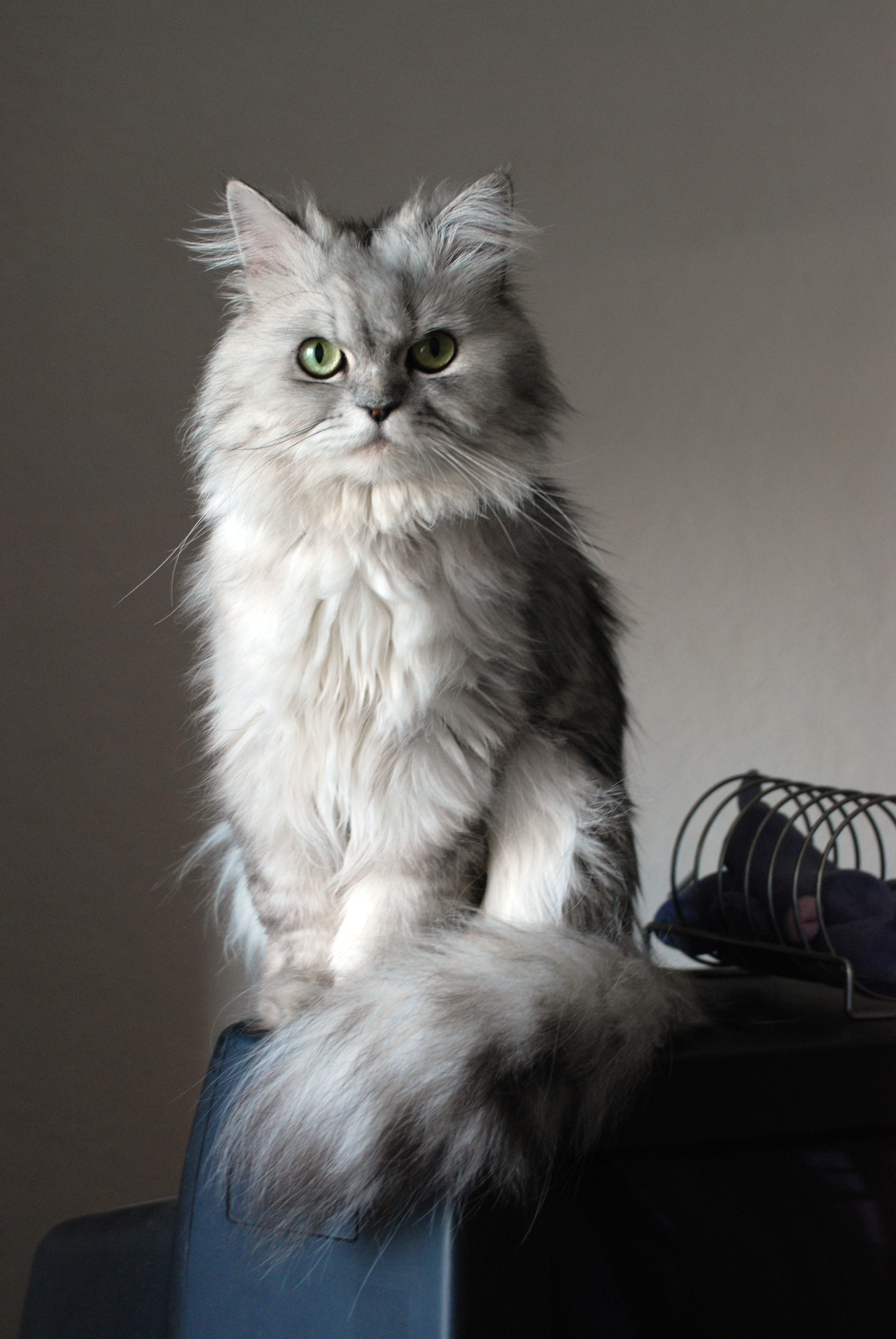 Le Persian | La chatte...