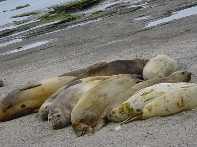 Earless seal %28Puerto Madryn%2C Argentina%29 European Parliament Bans Commercial Trade in Seal Products