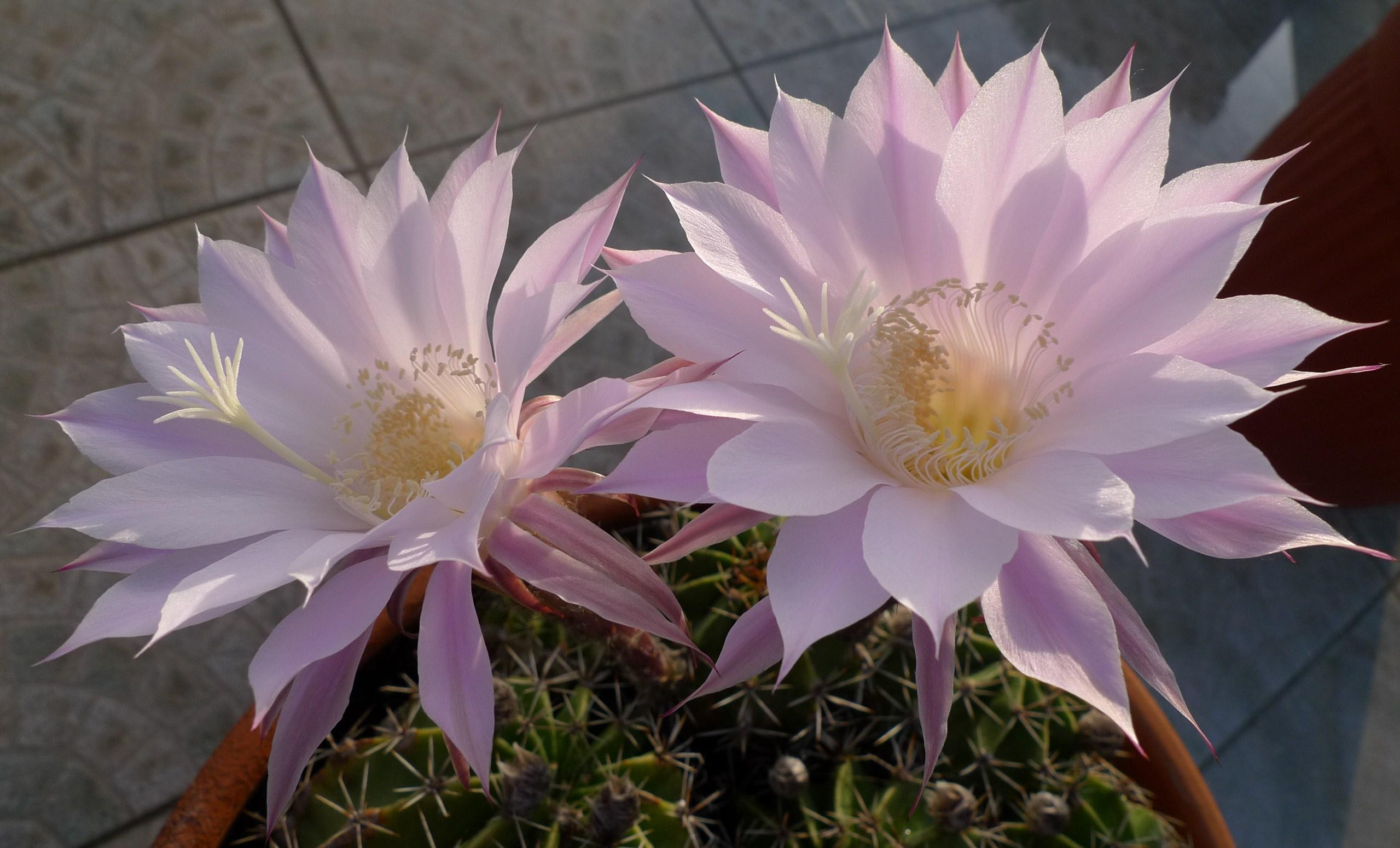 Blume Der Nacht