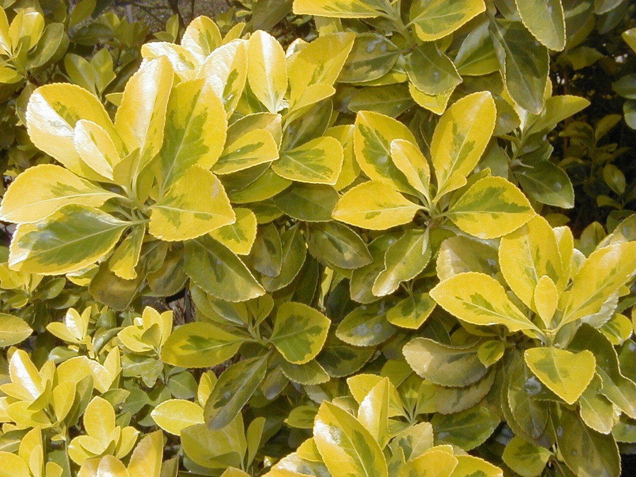 Conoce las plantas evonimo euonymus japonicus for Arboles hoja perenne para jardin