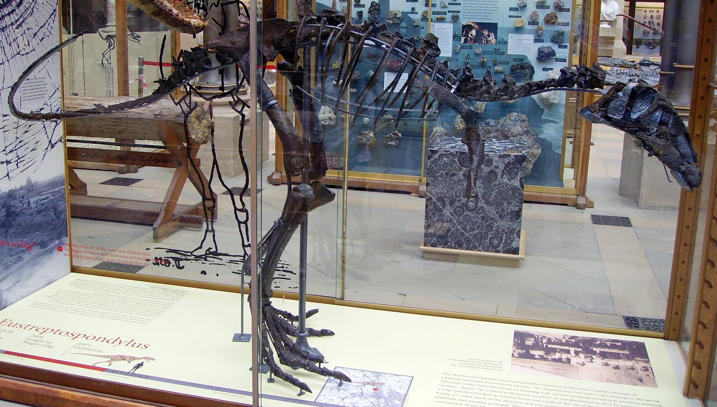 Eustreptospondylus skeleton (incomplete skull).JPG