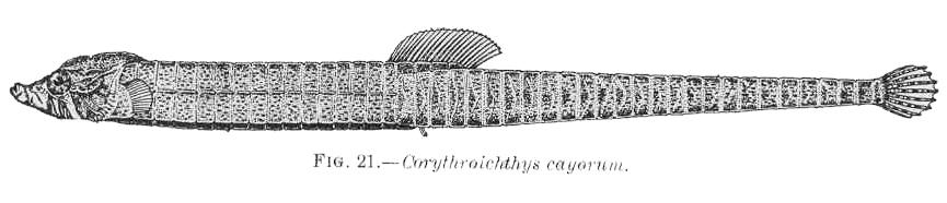 FMIB 38060 Corythroichthys cayorum.jpeg © Commons